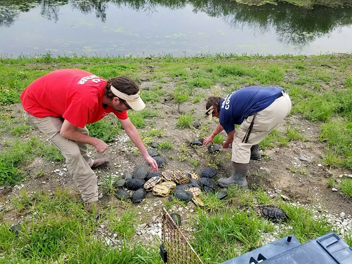 In this April 18, 2019 photo, animal control officers for West Memphis Animal Services help with a turtle rescue effort after the reptiles got trapped in sewage pond filters at a wastewater treatment facility in West Memphis, Ark. Dozens of turtles were rescued and relocated to the Mississippi River. (Trent Stacy/West Memphis Animal Shelter via AP)