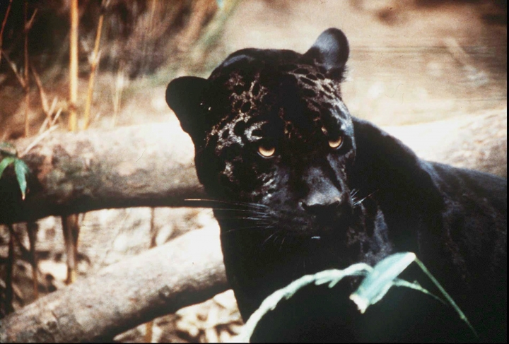 FILE - In this undated file photo a jaguar is shown. A federal plan to help grow the population of the endangered jaguar in the Southwest is drawing criticism from environmental groups. Only seven male jaguars have been seen in the U.S. since 1996. The U.S. Fish and Wildlife Service on Wednesday, April 24, 2019, released its final draft of a recovery plan for the jaguar. The plan calls for two main habitat areas. (Arizona Republic via AP, File)