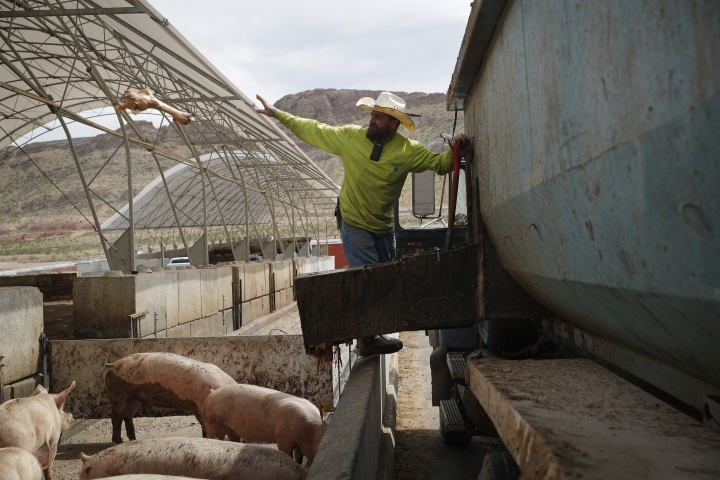 In this April 2, 2019, photo, Ross Coy throws a bone while feeding pigs at the Las Vegas Livestock pig farm in Las Vegas. The farm feeds their pigs with food wast from Las Vegas casinos. (AP Photo/John Locher)