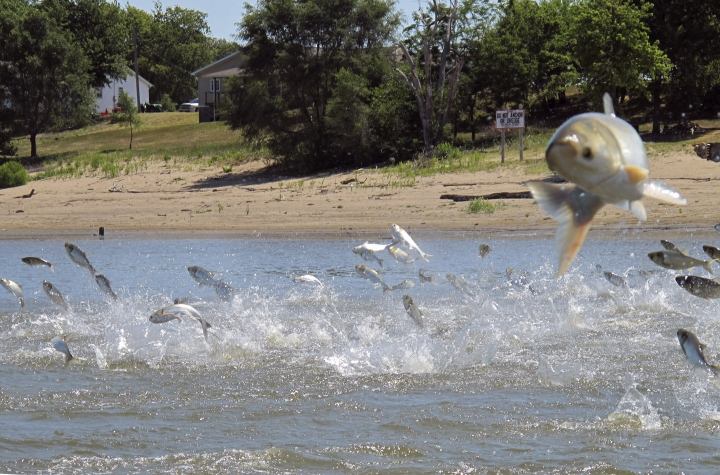 FILE - In this June 13, 2012, file photo, Asian carp, jolted by an electric current from a research boat, jump from the Illinois River near Havana, Ill. The governor of Illinois, Democrat J.B. Pritzker, is authorizing initial steps toward installation of technologies in a Chicago-area waterway to prevent Asian carp from reaching Lake Michigan. (AP Photo/John Flesher, File)