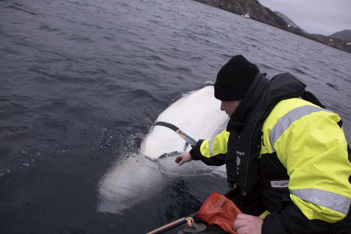 """Joergen Ree Wiig tries to reach the harness attached to a beluga whale before the Norwegian fishermen were able to removed the tight harness, off the northern Norwegian coast Friday, April 26, 2019. The harness strap which features a mount for an action camera, says """"Equipment St. Petersburg"""" which has prompted speculation that the animal may have escaped from a Russian military facility. (Joergen Ree Wiig/Norwegian Direcorate of Fisheries Sea Surveillance Unit via AP)"""