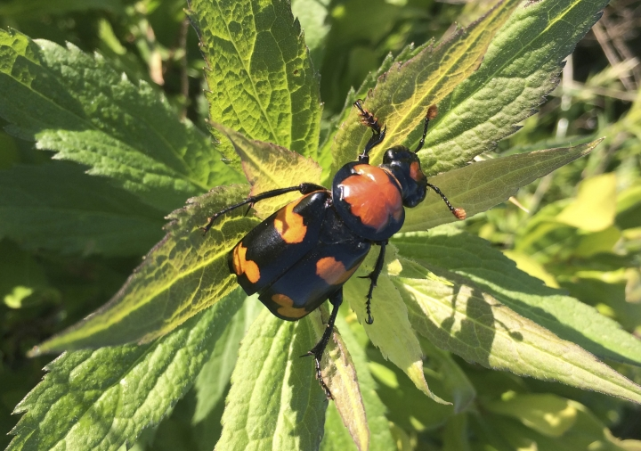 In this 2015 photo provided by the U.S. Fish and Wildlife Service is the American burying beetle handled in Rock Island, R.I. U.S. wildlife officials say the endangered carnivorous beetle is making a comeback and should be downlisted to threatened. The beetle was listed as endangered in 1989 after its historic range over 35 states and three Canadian provinces shrank to just eastern Oklahoma and Block Island off the cost of Rhode Island. Officials say populations now also can be found in Arkansas, Kansas, Missouri, Nebraska, South Dakota, Texas, and on Nantucket Island off the coast of Massachusetts. (U.S. Fish and Wildlife Service via AP)