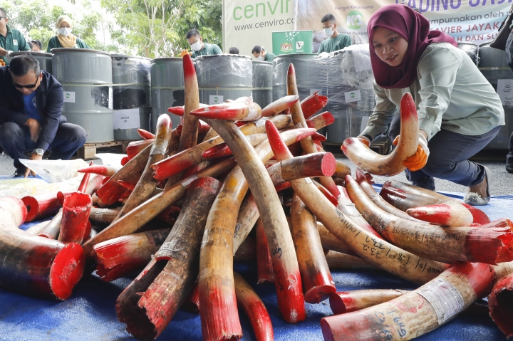 In this April 30, 2019, photo, staff at a government waste management facility arrange seized ivory tusks before destroying them, outside Seremban, Malaysia. Malaysia has destroyed nearly four tons of elephant tusks and ivory products as part of its fight against the illegal ivory trade. (AP Photo/Vincent Thian)