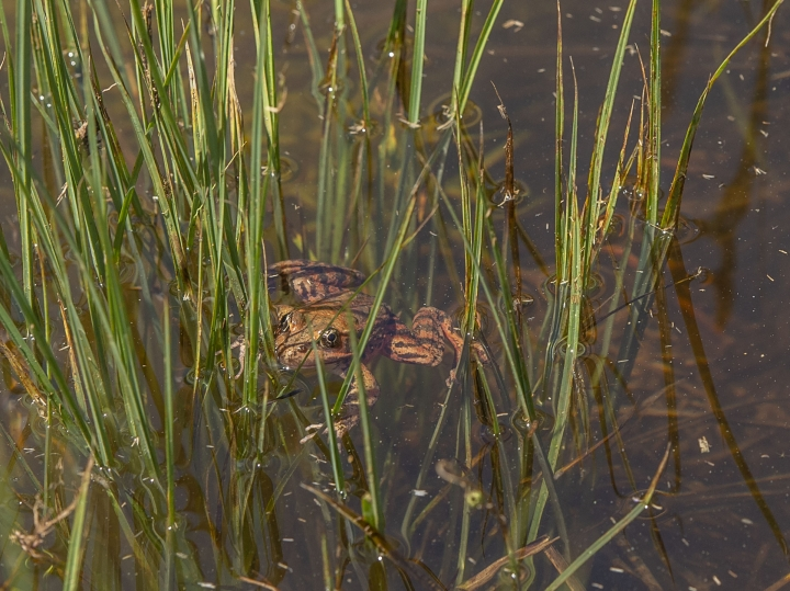 This May 3, 2019 photo provided by the National Park Service shows a close-up image of a red-legged frog released on Friday May 3, 2019 in Cooks Meadow in Yosemite Valley. Red-legged frogs made famous by Mark Twain are thriving in Yosemite Valley after a decades-long absence. (Al Golub/Yosemite Conservancy/National Park Service via AP)
