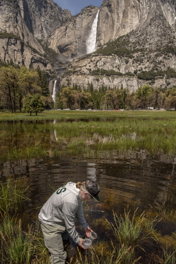 In this May 3, 2019 photo provided by the National Park Service, Yosemite National Park Aquatic Ecologist Rob Grasso releases a red-legged frog in water in Cooks Meadow in Yosemite Valley. Red-legged frogs made famous by Mark Twain are thriving in Yosemite Valley after a decades-long absence. (Al Golub/Yosemite Conservancy/National Park Service via AP)