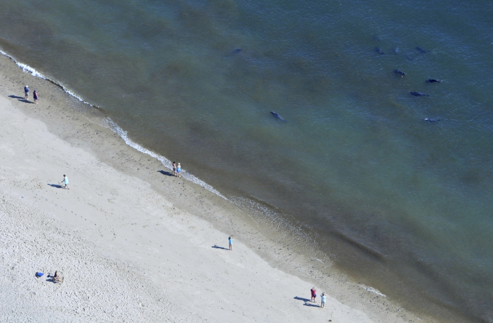 """FILE - In this Sept. 16, 2015, file photo, beachgoers keep an eye on the seals swimming at Coast Guard Beach in North Eastham, Mass. A plan to develop an acoustic system to chase away seals in order to prevent shark attacks is the latest front in the debate about how Cape Cod should respond in the wake of last year's shark attacks. Deep Blue LLC presented the idea for an """"invisible fence"""" to the Barnstable County Commissioners on Wednesday, May 29, 2019, drawing support from some officials and residents but concern from local animal rights groups.(Steve Heaslip/The Cape Cod Times via AP, File)"""
