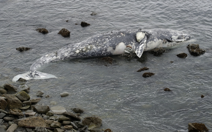 FILE- In this May 15, 2019 file photo, a dead whale lies near shore in Pacifica, Calif. Federal scientists on Friday, May 31 opened an investigation into what is causing a spike in gray whale deaths along the West Coast this year. So far, about 70 whales have stranded on the coasts of Washington, Oregon, Alaska and California, the most since 2000. (AP Photo/Jeff Chiu, File)