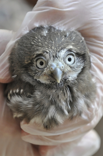 This photo taken on Wednesday, June 5, 2019 and provided by the Phoenix Zoo shows a big-eyed baby pygmy owl, one of four hatched at the zoo three weeks ago under a special breeding program. The cactus ferruginous pygmy owls are being raised by two pairs of adult owls. Three pairs of the tiny owls laid 11 eggs among them, but only four hatched. The owls weigh just 3 ounces as adults and nest in the cavities of the saguaro cactus. Its population has declined in recent decades and the species is now believed to number fewer than 100 in the state. (The Phoenix Zoo via AP)