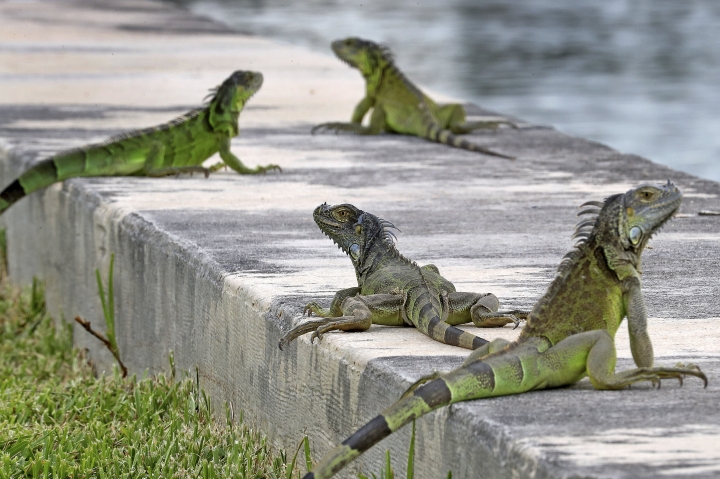 FILE - In this June 24, 2018, file photo, iguanas gather on a seawall in the Three Islands neighborhood of Hallandale Beach, Fla. Non-native iguanas are multiplying so rapidly in South Florida that a state wildlife agency is now encouraging people to kill them. A Florida Fish and Wildlife Conservation Commission news release says people should exterminate the large green lizards on their properties as well as on 22 public lands areas across South Florida. (Mike Stocker/South Florida Sun-Sentinel via AP)