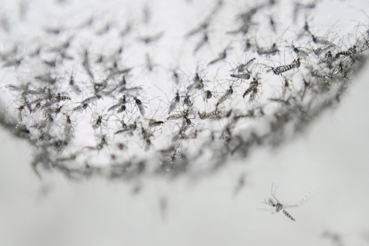 This July 13, 2019 photo provided by Guangzhou Wolbaki Biotech shows male Aedes albopictus mosquitoes in a container at the company's lab in Guangzhou, China, prepared for release. Researchers zapped the insects with a small dose of radiation and infected them with a virus-fighting bacterium called Wolbachia. Males and female mosquitoes with different types of Wolbachia won't have young that survive. So researchers intentionally infect males with a strain not found in the area and then release the insects. (Guangzhou Wolbaki Biotech via AP)
