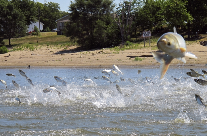 FILE - In this June 13, 2012, file photo, Asian carp, jolted by an electric current from a research boat, jump from the Illinois River near Havana, Ill. A newly released study says if Asian carp reach Lake Michigan, they probably would find enough food to spread far and wide. Some experts have questioned whether there's enough plankton in the lake to sustain the invasive carp away from shoreline areas. But the new report released Monday, Aug. 12, 2019, by University of Michigan scientists says despite a drop-off of plankton caused by exotic mussels, the voracious carp could feed on other organic material when venturing into deeper waters. (AP Photo/John Flesher, File)