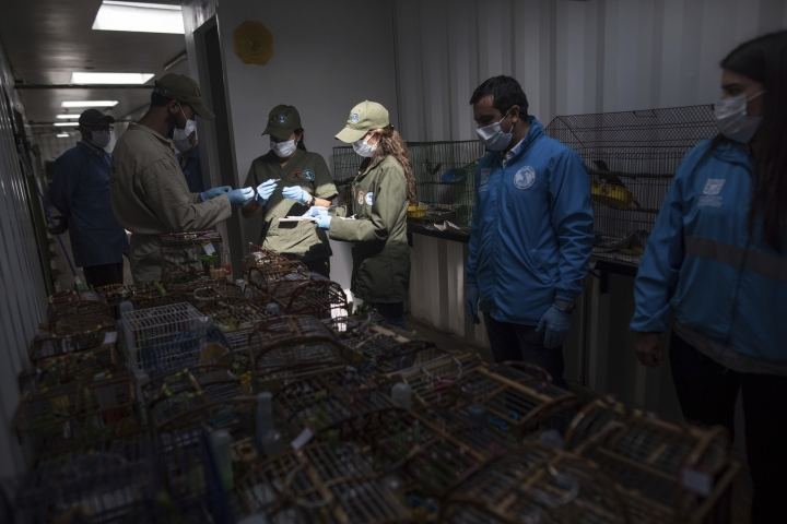 In this Aug. 5 , 2019 photo, veterinarians check cages of the canaries that were caged by animal traffickers, in a quarantined area of a wildlife center before the birds are freed in Bogota, Colombia. Authorities say the birds were subjected to prolonged abuse by their captors, mostly migrants to the capital from the Caribbean coast and Venezuela, who would keep them in the tiny cages and force them to listen to loud music around the clock in an effort to spur them to sing. (AP Photo/Ivan Valencia)