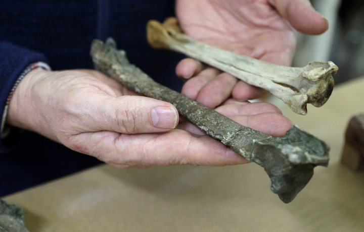 Dr. Paul Scofield, senior curator natural history at Canterbury Museum, holds the fossil, a tibiotarsus, left, next to a similar bone of an Emperor Penguin in Christchurch, New Zealand, Wednesday, Aug. 14, 2019. Scientists in New Zealand say they've found fossilized bones from an extinct monster penguin that was about the size of a human and swam the oceans some 60 million years ago. (AP Photo/Mark Baker)