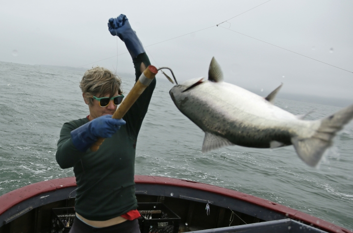 In this photo taken Wednesday, July 17, 2019, Sarah Bates hauls in a chinook salmon on the fishing boat Bounty near Bolinas, Calif. California fishermen are reporting one of the best salmon fishing seasons in more than a decade, thanks to heavy rain and snow that ended the state's historic drought. It's a sharp reversal for chinook salmon, also known as king salmon, an iconic fish that helps sustain many Pacific Coast fishing communities. (AP Photo/Eric Risberg)