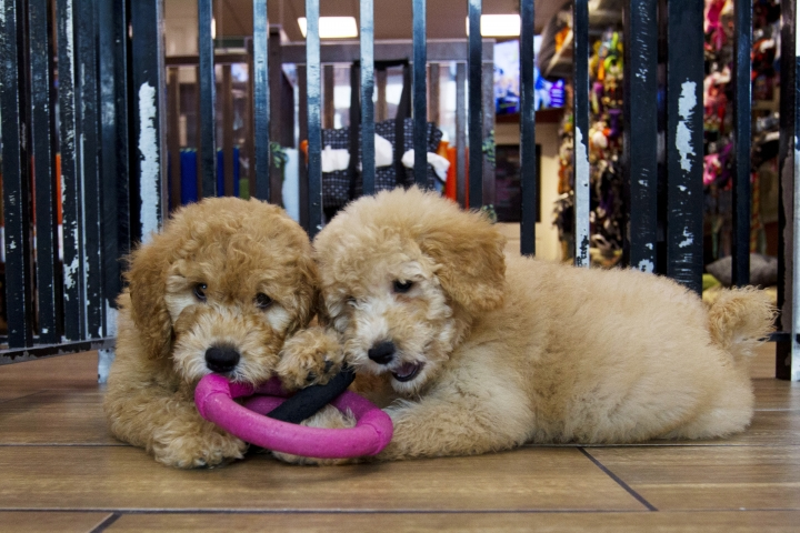 """Puppies play in a cage at a pet store in Columbia, Md., Monday, Aug. 26, 2019. Pet stores are suing to block a Maryland law that will bar them from selling commercially bred dogs and cats, a measure billed as a check against unlicensed and substandard """"puppy mills."""" (AP Photo/Jose Luis Magana)"""