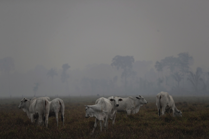 "Amid smoke from forest fires, cattle graze on a farm along the road to Jacunda National Forest, near the city of Porto Velho in the Vila Nova Samuel region which is part of Brazil's Amazon, Monday, Aug. 26, 2019. The Group of Seven nations on Monday pledged tens of millions of dollars to help Amazon countries fight raging wildfires, even as Brazilian President Jair Bolsonaro accused rich countries of treating the region like a ""colony."" (AP Photo/Eraldo Peres)"