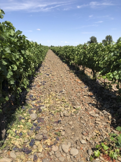 This Aug. 12, 2019 photo shows wine grapes growing amid the stones in the River Rock Vineyard in Milton-Freewater, Oregon. Southeastern Washington has been producing high-quality wines for decades. But in the past five years, the wineries of the Walla Walla Valley have drawn international accolades for the reds produced from the unique soil just across the border in Oregon. (AP Photo/Sally Carpenter Hale)