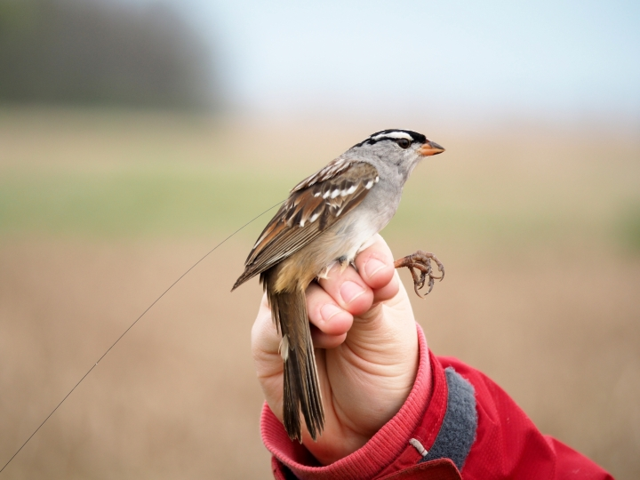 In this May 12, 2017, photo by Margaret Eng, a white-crowned sparrow in southern Ontario stands affixed with a lightweight digitally coded radio transmitter. The birds were part of a study that found they are vulnerable to population loss due to a kind of pesticide. (Margaret Eng/ Saskatchewan Toxicology Centre via AP)