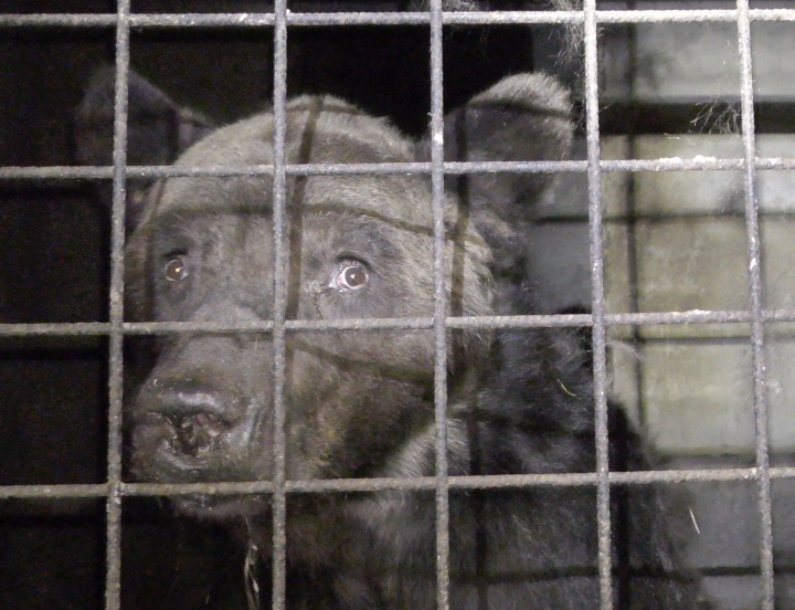 This photo provided Friday Sept.13, 2019 by animal protection group One Voice shows bear Mischa in its cage in Chauvigny-du-Perche, France on Sept.3; 2019. French authorities issued a definitive ban on making a bear appearing in any public show following sanitary controls showing the animal suffers from diseases and bad conditions of captivity. Animal protection groups recently called for attention to the situation of the bear, named Mischa, which was taking part in shows across France. (One Voice via AP)