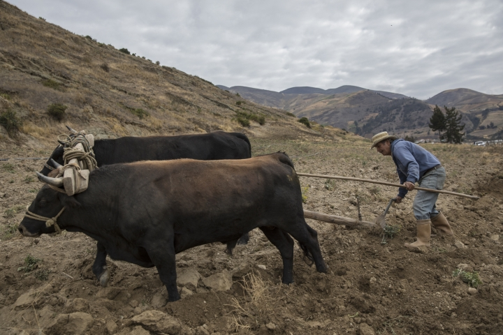 In this Feb. 19, 2019 photo, a farmer uses a plow in Merida, Venezuela, as scientists start a mission to study how temperatures and plant life are changing in the Andean ecosystem known as the paramos _ a mist-covered mountain grassland that lies between the top of the treeline and the bottom of the Humboldt glacier. (AP Photo/Rodrigo Abd)