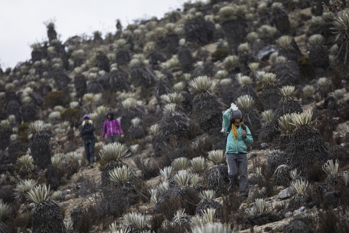 In this Feb. 19, 2019 photo, scientists hike during a mission to study how temperatures and plant life are changing in the Andean ecosystem known as the paramos _ a mist-covered mountain grassland that lies between the top of the treeline and the bottom of the Humboldt glacier, in Merida, Venezuela. The team of scientists in Venezuela is trying to weather the political and economic crisis engulfing their country to record what happens as Venezuela's last glacier vanishes. (AP Photo/Rodrigo Abd)
