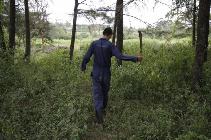 "Gerald Erebon uses a machete at the Catholic seminary farm in the Nairobi suburb of Karen, Kenya, on Sunday, June 17, 2019. In mid-2013, Erebon reached out to the Rev. Mario Lacchin, sending him a series of emails over the span of two months, hoping to establish a relationship following his mother's death. ""Ever since I knew you as my real biological father, I could not stop asking myself questions as to why I was born the way I was born, which consequently had put hate in me against you,"" Erebon wrote. But he said he had since had a change of heart and now forgave him. ""I love you father,"" he wrote. ""Let us not allow the past to affect our present and future."" Lacchin has denied the claim and refused a paternity test. (AP Photo/Brian Inganga)"