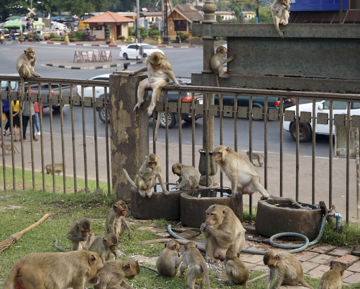 This March 16, 2019 photo shows local monkeys gathering at Phra Prang Sam Yot temple in the center of Lopburi town, known as Monkey City, in central Thailand. Lopburi, one of Thailand's oldest cities, boasts Khmer-era temples and the uncrowded ruins of King Narai's Palace. (AP Photo/Nicole Evatt)