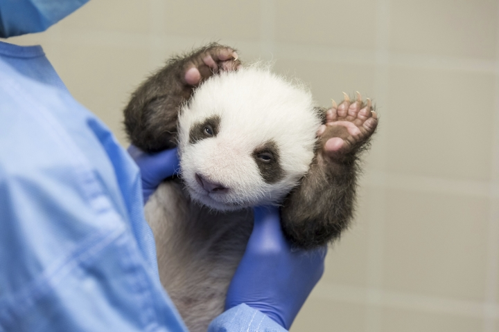 In this photo provide by the Berlin Zoo on Friday, Oct. 18, 2019, a person holds one of the Zoo's Panda twins at the Zoo in Berlin. Zoo Berlin's panda twins, born on Aug. 31, 2019, open their eyes for the first time. (Zoo Berlin via AP)