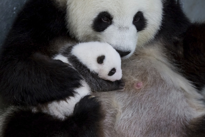 In this photo provide by the Berlin Zoo on Friday, Oct. 18, 2019, Panda bear Meng Meng holds one of her twins at the Zoo in Berlin. Zoo Berlin's panda twins, born on Aug. 31, 2019, open their eyes for the first time. (Zoo Berlin via AP)