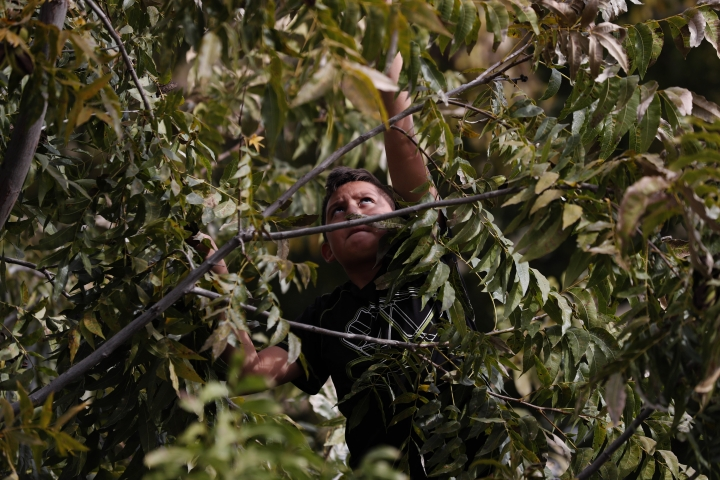 A child collects pecans in Colonia LeBaron, where the extended LeBaron runs a pecan farming operation, in Chihuahua state in northern Mexico, Wednesday, Nov. 6, 2019. The three women and six of their children who were gunned down in a Nov. 4 attack while traveling along Mexico's Chihuahua and Sonora state border, were apparently related to the extended LeBaron family, whose members have run afoul of the drug traffickers over the years. (AP Photo/Marco Ugarte)