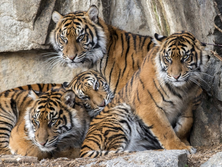 FILE— Handout picture shows four young Sumatran tigers in the zoo in Berlin Germany, Nov.23, 2019. (AP Photo/Karl Broeseke/Berlin Tiergarten Zoo)