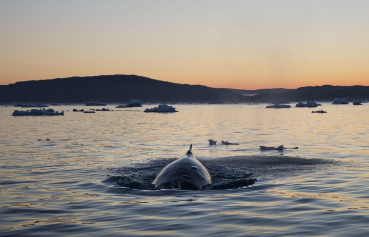 FILE - In this Aug. 1, 2017, file photo, a humpback whale dives while swimming in the Nuup Kangerlua Fjord in Greenland. An aquarium and an engineering firm in Massachusetts are partnering on a project to better protect whales by monitoring them from satellites in space. (AP Photo/David Goldman, File)