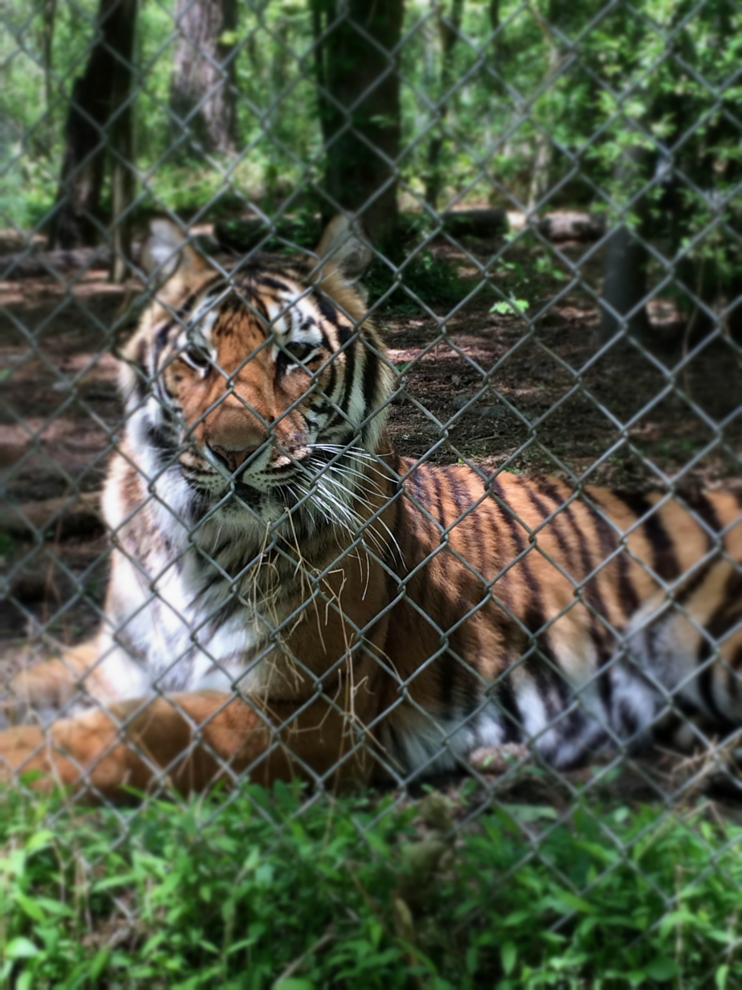 A Day with Tigers: Volunteering at Carolina Tiger Rescue | Viget