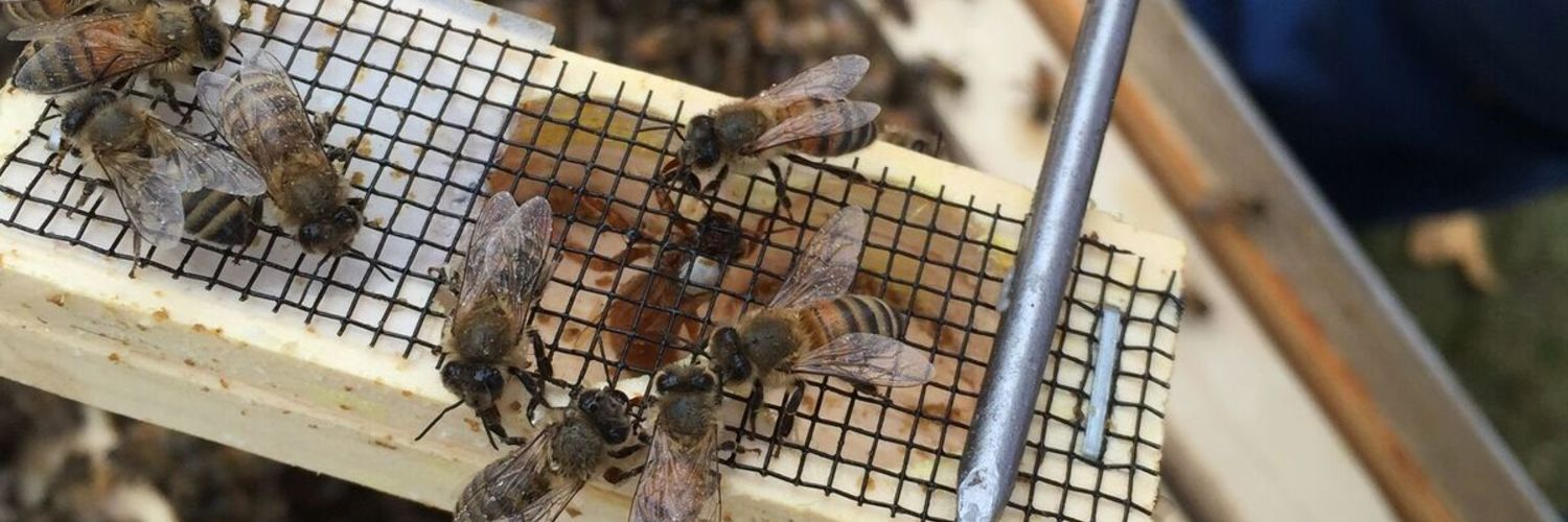 Queen bee being added to hive at hill top