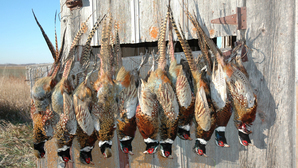 Pheasant hunting lodges3