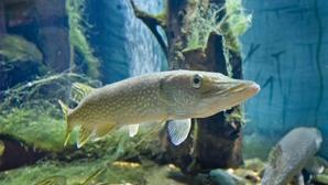 Aksarbenaquarium northernpike 038