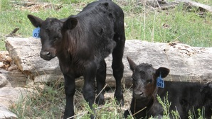 Calves two dave hamilton ranch