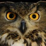 International Festival of Owls Houston Minnesota photo of Eurasian Eagle Owl