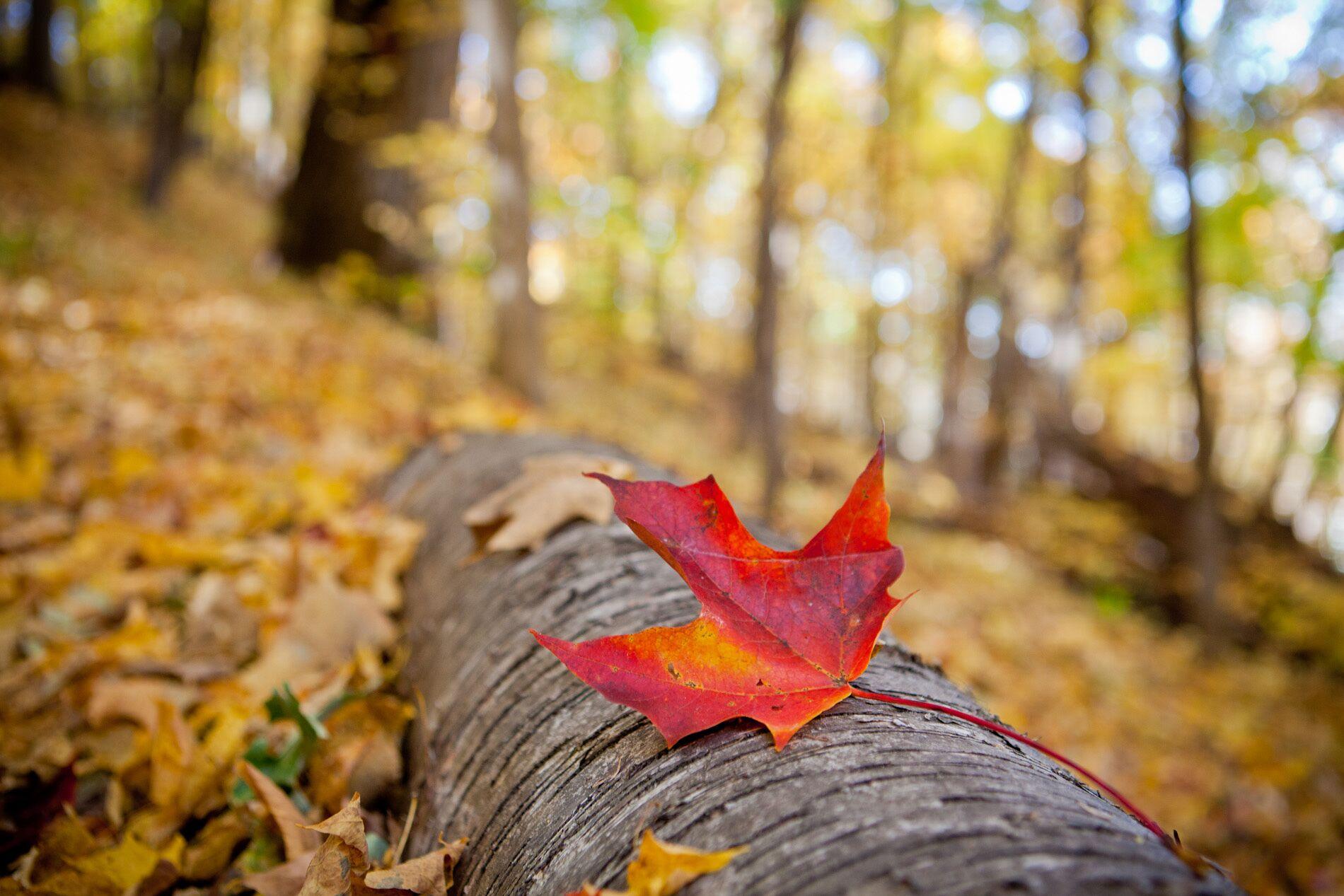 Red Leaf on Log Autumn Minnesota Winona County