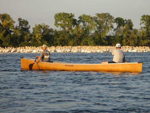 Canoers paddle by flock of pelicans