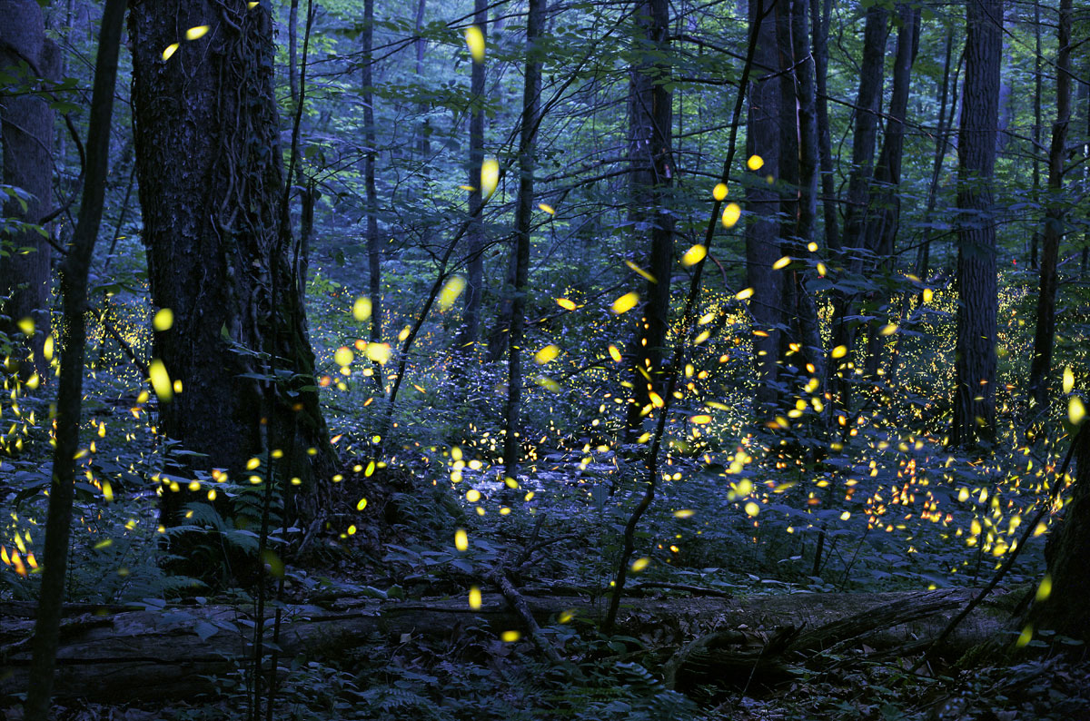 """Synchronous Fireflies"" - © Radim Schreiber, all rights reserved."