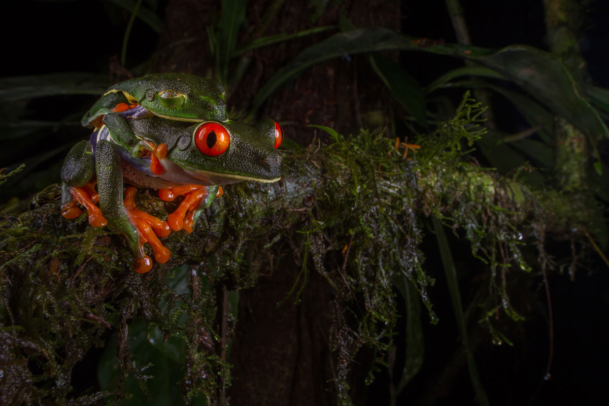 """Mating Red-Eyed Tree Frogs"" - © Jennifer Guyton, all rights reserved."