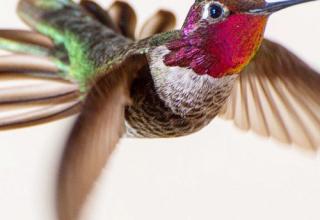Hummingbirds, by Tracy Johnson