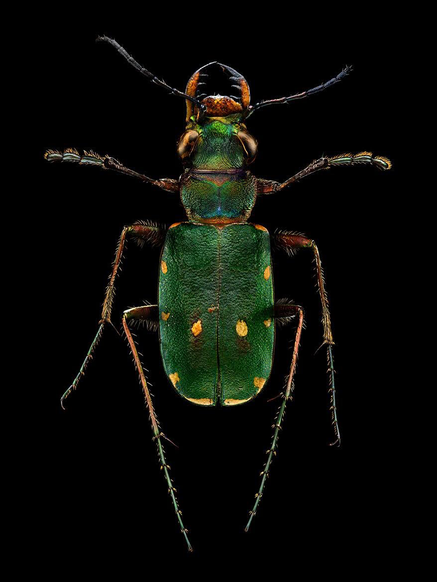 Microphotos Tiger Beetle