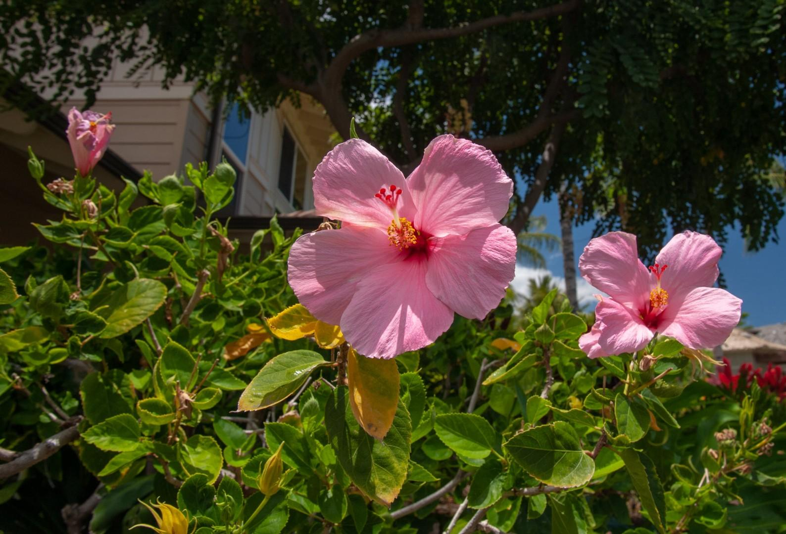 Pink Hibiscus By the Entrance