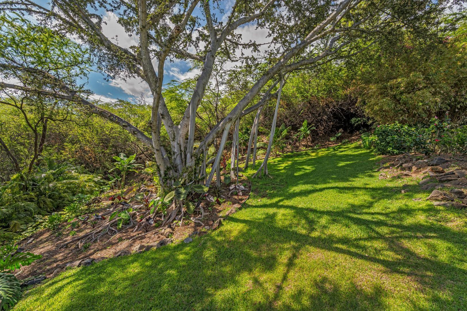 Beautiful banyan tree in backyard