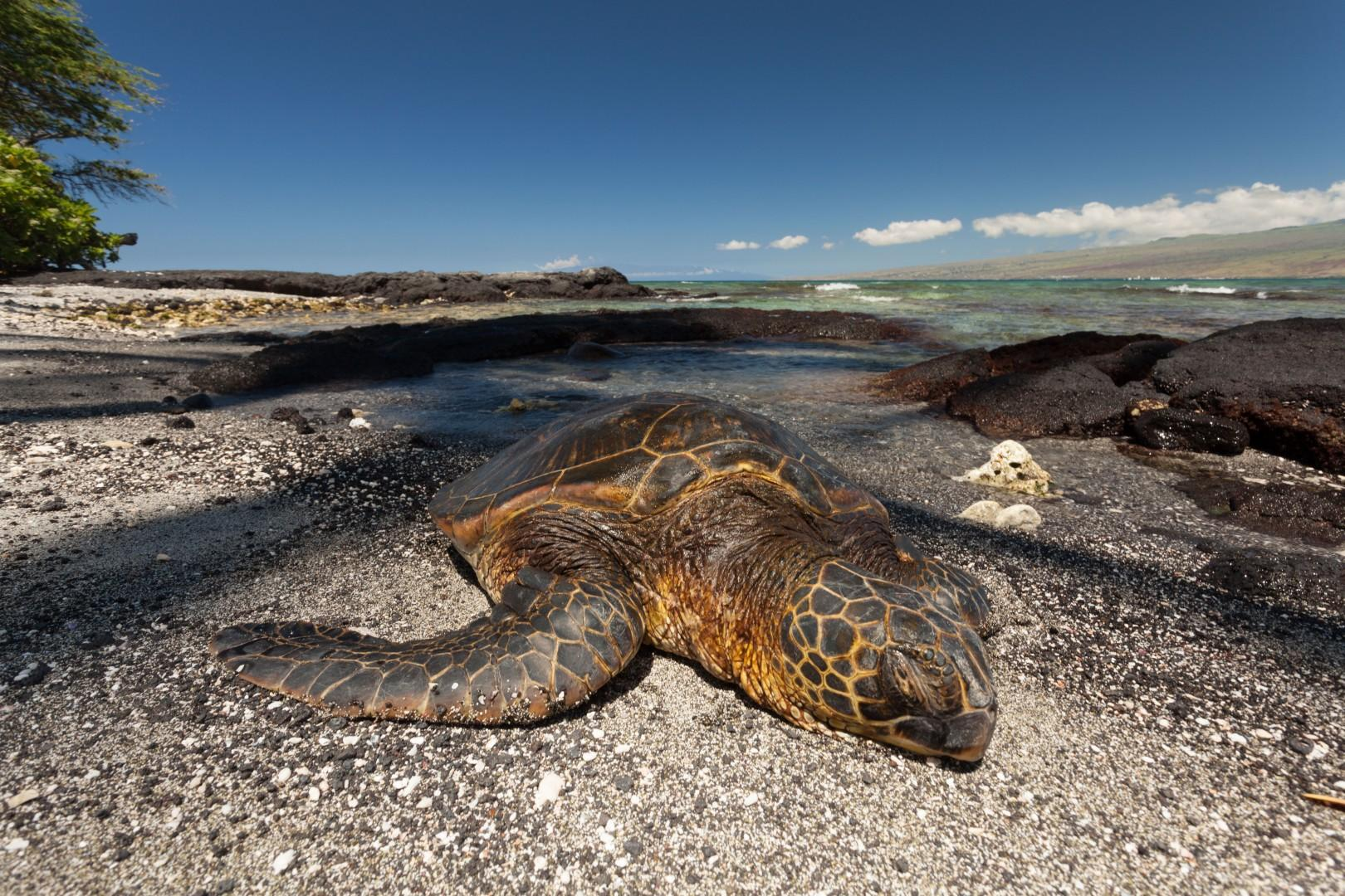 Sleepy Sea Turtle in Front of the House. Puako Bay is a Popular Resting & Eating Ground for Hawaiian Sea Turtles.