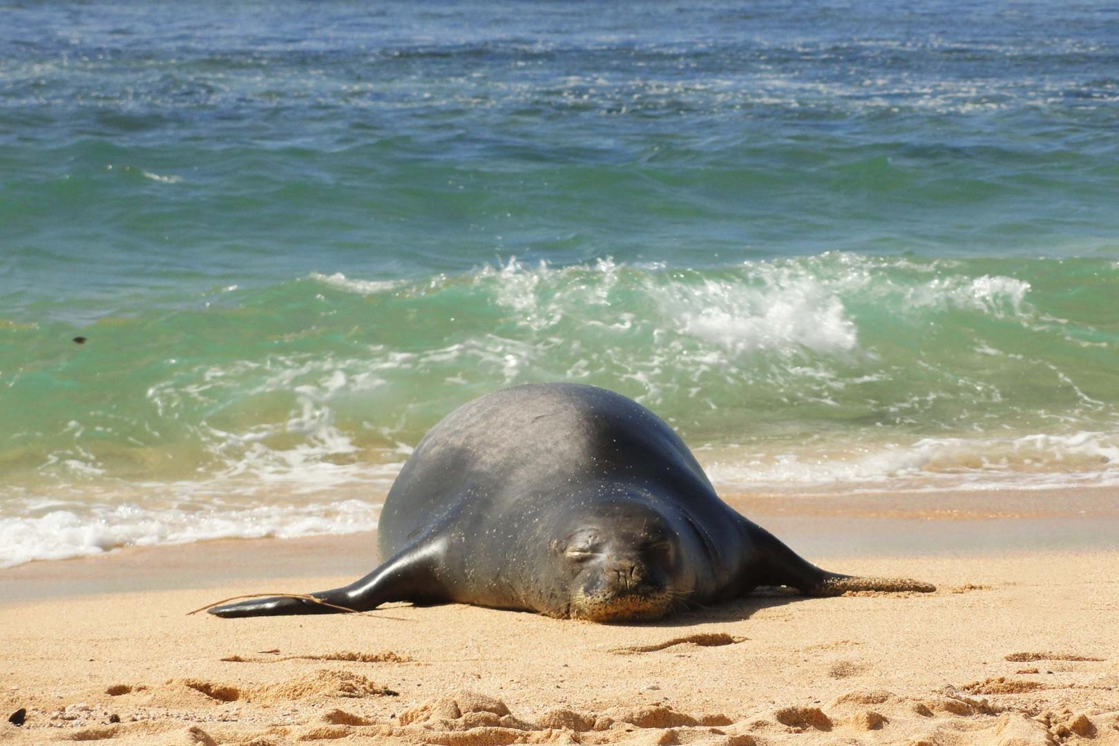 Monk Seal Relaxing in the Sun