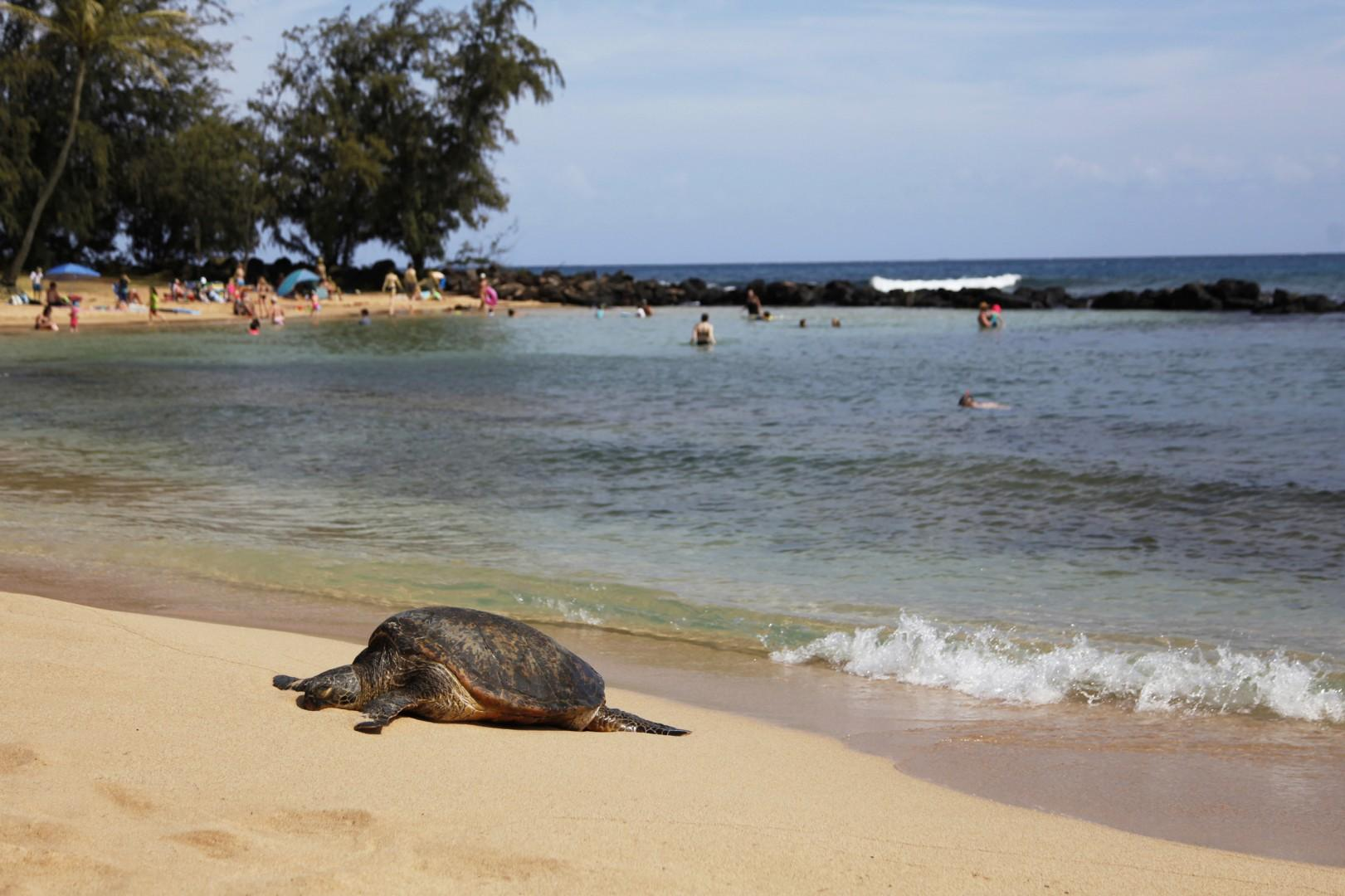 Honu relaxing on Poipu beach