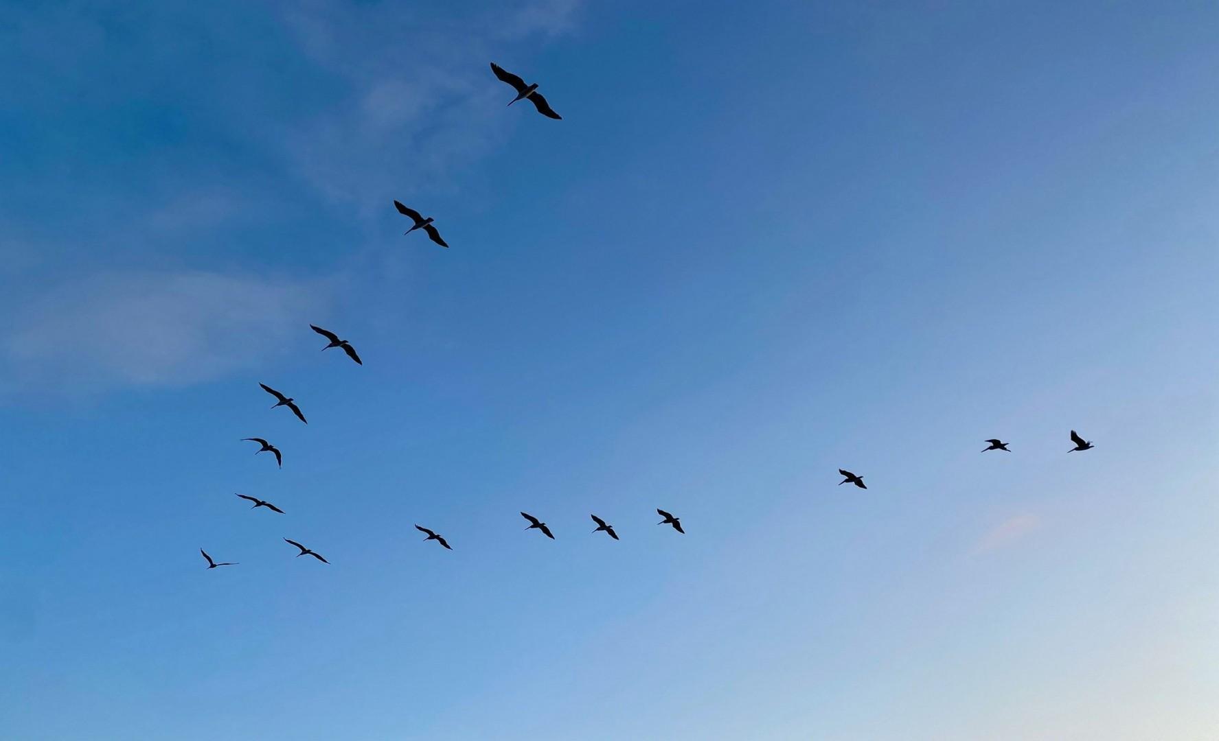 Pelicans cruising the coast